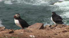 Puffins in classic pose with ocean in background Stock Footage