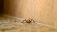 Wolf Spider Kitchen Counter Crawling Slowly Stock Footage
