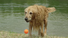 Golden Retriever dropping ball in slow motion Stock Footage