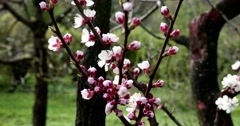 Oriental cherry tree, Moscow Botanical Garden of Academy of Sciences Stock Footage