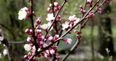 Flowering oriental cherry tree, Moscow Botanical Garden Stock Footage