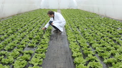 Agronomist in greenhouse lettuce  Stock Footage