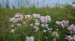 Flowers lilac flower in the field Stock Footage