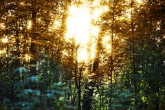 Horizontal sunset flares in forest landscape background Stock Photos