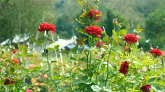 A bunch of roses in the garden Stock Footage