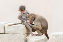 Baby baboon sitting on the rocks Stock Photos