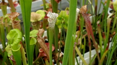 Sarracenia leucophylla and Sarracenia flava, pitcher plant, carnivorous plant Stock Footage