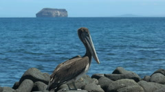 Brown pelican on north seymour in the galapagos Stock Footage