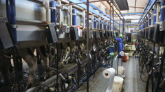 Operator of machine milking connects the milking machines Stock Footage