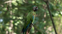 Chestnut fronted macaw in a park in ecuador Stock Footage