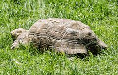 Big turtle feeding in the green grass, animal scene Stock Photos