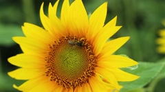 Bee Crawls Along the Beautiful Sunflowers. it Collects Pollen For the Honey on Stock Footage