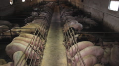 Pig Swine  Animal Farm  Stock Footage