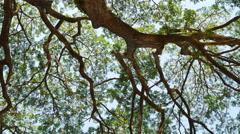 Big Mimosa tree with sunlight slider scene - stock footage