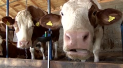 Cow in the stable stares at the camera and chews Stock Footage
