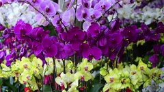 white yellow and violet orchids flowers branch dangles in the wind - stock footage