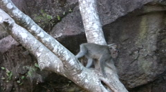 Long-tailed macaque on top of Mount Batur Stock Footage