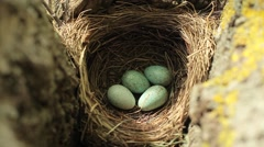 Wild bird nest with blue eggs four found in forest - stock footage