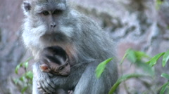 Long-tailed macaque with baby on top of Mount Batur Stock Footage