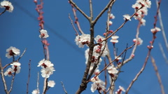Apricot Flower. White blossoms Blooming in Spring Stock Footage