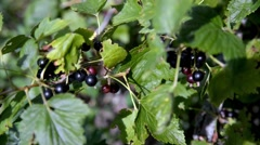 Branch of black currant swaying in the wind. Stock Footage