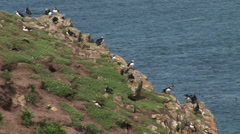 Puffins in large group on grass bank Stock Footage
