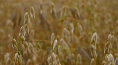 Ripening field of oats, close up, 4K Stock Footage