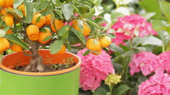 Female florist waters the mandarin tree at the garden centre - stock footage