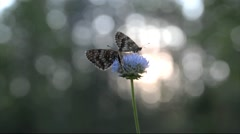 Butterfly Melitaea Athalia sitting on a blue flower on a sunrise background. Stock Footage