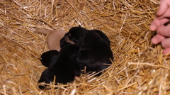 Veterinarian with small puppies in a haystack Stock Footage