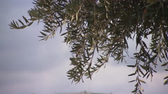The Knesset, Israel's Houses of Parliament in Jerusalem, tilt from olive tree  Stock Footage