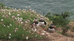 Puffins in flowers and ocean in background Stock Footage