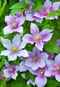 Purple clematis flowers on a natural - stock photo