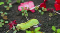 The Birch sawfly larva crawling on the ground Stock Footage