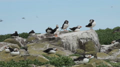 Puffins on the Farne Islands, Northumberland Stock Footage