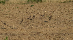 Pheasant family on the field at spring - stock footage