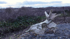 Goat skull in countryside Stock Footage