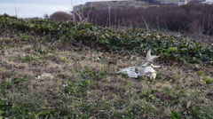Goat skull lying in the grass Stock Footage