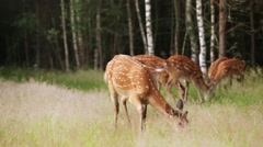 A herd of spotted deer grazing Stock Footage