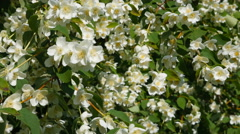 Beautiful jasmine white flowers, summer day. Flowers in the wind (close-up) - stock footage