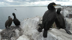Shags nesting on the Farne Islands, Northumberland Stock Footage