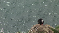 Puffin on open rock with many in water behind - stock footage