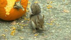 Squirrel eating pumpkin seed Stock Footage