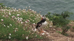 Puffin in wild meadow Stock Footage