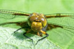 Detail of head of a dragonfly Stock Photos