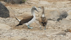 Dancing blue-footed boobies on isla espanola in the galapagos Stock Footage