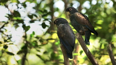 Two bronze-winged parrots in a park in ecuador Stock Footage