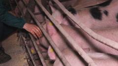 Pig Animal Farm farmer 1a Stock Footage