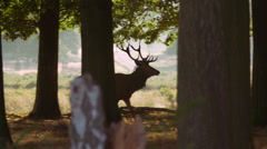 Deer Braying in the Woods Stock Footage