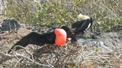 Pair of magnificent frigatebirds on isla genovesa in the galapagos Stock Footage